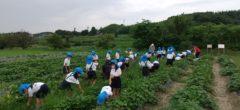 芋畑の除草に行きました